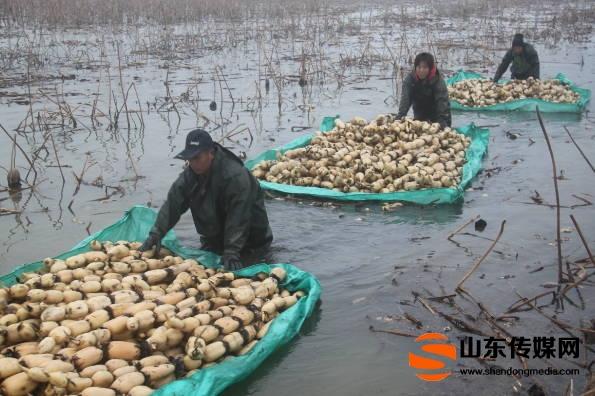 郯城:万亩流转莲藕迎来丰收季