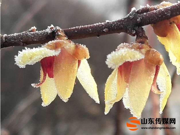 郯城:雾中梅花俏争春