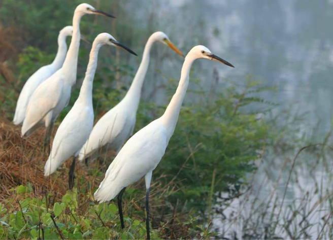 郯城:采莲湖畔生态好 美景迷住白鹭鸟