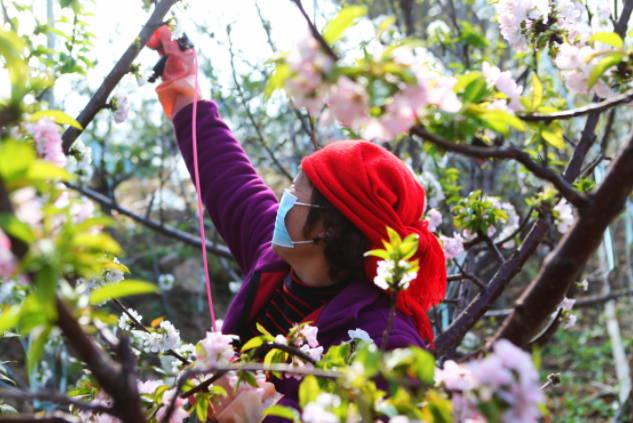 山东淄川:迎着春风开 农民给樱桃树花授粉忙