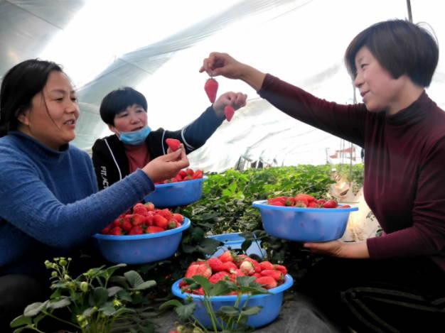 """张乃红:11棚草莓为何只认""""红颜""""这个棚?"""