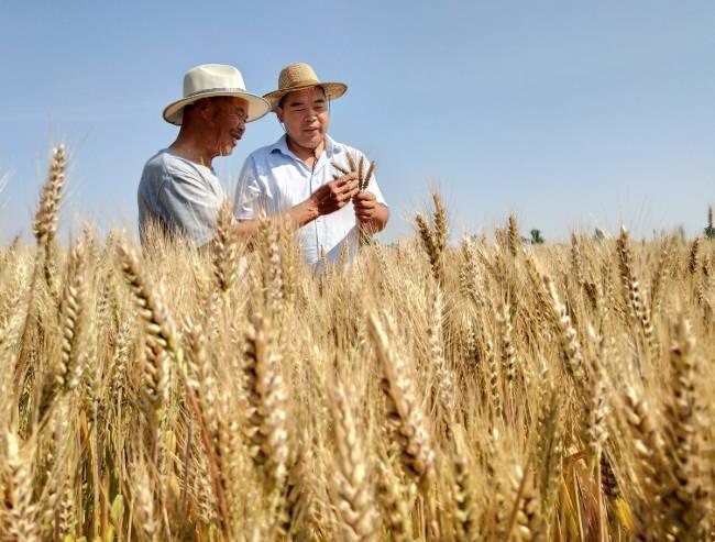郯城:富硒紫小麦种植不愁卖