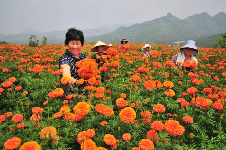 淄川:万寿菊拓展脱贫路