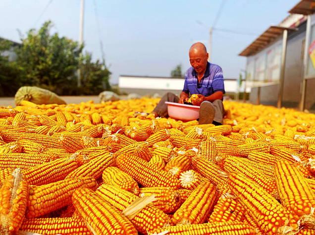 收获金秋 曲阜陵城镇万亩玉米丰收在望