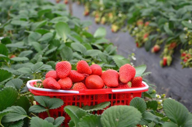 郯城县归昌乡曹滂村草莓种植拓宽农民增收路