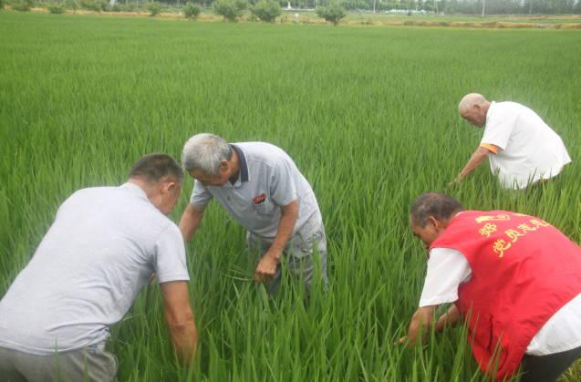 郯城县杨集镇:稻田管理正当时 志愿服务进田间